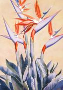 Bird Of Paradise Paintings - Birds of Paradise by Mary Helmreich