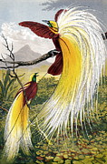 Birds Of Paradise Prints - Birds Of Paradise Print by Sheila Terry