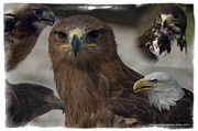 Red Tail Hawk Photographs Posters - Birds of Prey Poster by Matt Steffen