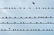 Bird On A Wire Prints - Birds on a Wire Print by John Greim