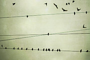 Flock Of Birds Posters - Birds On Telephone Wire Poster by Lucy Loomis, Photographer