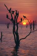 Flocks Posters - Birds On Tree, Lake Kariba At Sunset Poster by Axiom Photographic