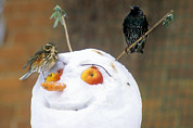 Starlings Metal Prints - Birds Perched On A Snowman Metal Print by Dr Keith Wheeler