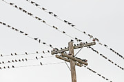 Flock Of Bird Art - Birds Perched On Wires by David Madison