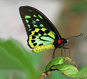 Cairns Prints - Birdwing Butterfly Close Up Resting Of Leaf Print by Melinda Moore