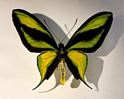 Beautifull Posters - Birdwing Butterfly Ornithoptera Paradisea Poster by Paul D Stewart