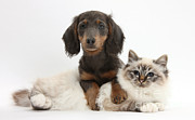 Domesticated Animal Framed Prints - Birman Cat And Dachshund Framed Print by Mark Taylor