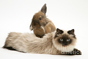 Cats Birman Prints - Birman-cross Cat With Dwarf Lionhead Print by Jane Burton