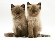 Jane Burton - Birman-cross Kittens