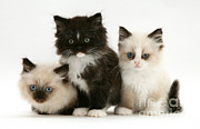 Cats Birman Prints - Birman-persian Kittens Print by Jane Burton