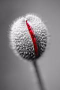 Bursting Photos - Birth Of A Poppy by Tracie Kaska