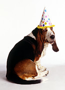 Basset Hound Photos - Birthday Basset Hound by Stan Fellerman