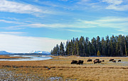 Graze Posters - Bison along Yellowstone River Poster by Twenty Two North Gallery