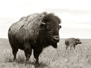 Bison And Calf Print by Olivier Le Queinec