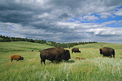 Animal Behavior Posters - Bison And Their Calves Graze In Custer Poster by Annie Griffiths