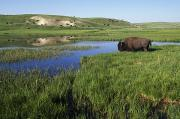 Bison Bison Photos - Bison At Edge Of Pool, Hayden Valley by David Ponton