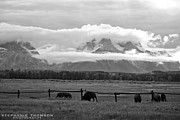 Stephanie Thomson - Bison at the Tetons