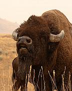 Bison Photos - Bison Bellowing At The Sky by Max Allen