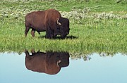 Bison Photos - Bison (bison Bison) On Grassy Meadow With Reflection In Pool by Design Pics / David Ponton
