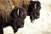 Scenery Prints - Bison Bison Print by Joseph Rossi
