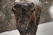 Bison Buffalo Wyoming Yellowstone Print by Mark Duffy