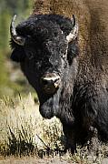 Bison Photos - Bison Bull by Chad Davis