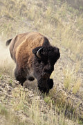 Bufffalo Photos - Bison bull by D Robert Franz