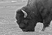 Buffalo Photos - Bison Bull Grazing on Clover by Karon Melillo DeVega