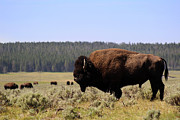 Bison Prints - Bison Bull watching over herd in Yellowstone National Park Print by Adam Long