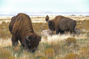 Bison Digital Art - Bison Bulls by Earl Nelson