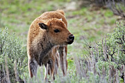 American Bison Acrylic Prints - Bison Calf Acrylic Print by Photo By Daryl L. Hunter - The Hole Picture