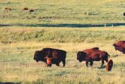 Bison Art - Bison Calves by Jan Amiss Photography