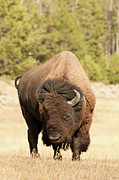 Looking At Camera Metal Prints - Bison Metal Print by Corinna Stoeffl, Stoeffl Photography