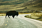 Antelope Island Framed Prints - Bison crossing Highway Framed Print by Marilyn Hunt