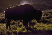 Bison Prints - Bison Print by David Ponton