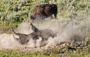 American Bison Prints - Bison Dust Bath Print by Paul Cannon