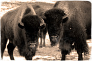 On The Plains Prints - Bison feeding Print by Robert Crespin
