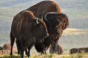 American Bison Prints - Bison Friends Print by Bruce Gourley
