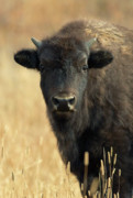 Bison Bison Photos - Bison Glance by John Blumenkamp