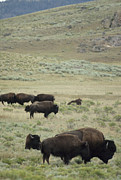 Bison Photos - Bison Graze Near The Lamar Valley by Gordon Wiltsie