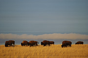 Bison Photos - Bison Graze On The Shortgrasses by James P. Blair