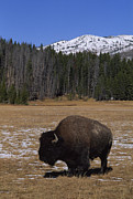 Bison Photos - Bison Grazes In Meadow Near Canyon by Gordon Wiltsie