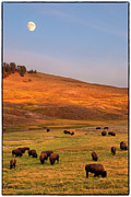 Western Usa Posters - Bison Grazing On Hill At Hayden Valley Poster by Sankar Raman