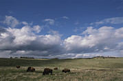 American Bison Prints - Bison Grazing On The Open Prairie Print by Annie Griffiths