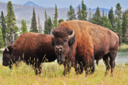 Wildlife Art Framed Prints Framed Prints - Bison Framed Print by Greg Norrell