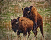 Bison Photos - Bison Having Fun by Paul W Sharpe Aka Wizard of Wonders