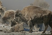 American Bison Prints - Bison Herd And Young Covered By Snow Print by Norbert Rosing