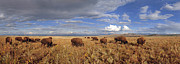 Northern Colorado Prints - Bison Herd  Hebron Colorado Print by Nathan Mccreery