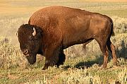 Bison Photos - Bison Huffing And Puffing For Herd by Max Allen