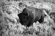 Roaming Framed Prints - Bison in Black and White Framed Print by Sebastian Musial